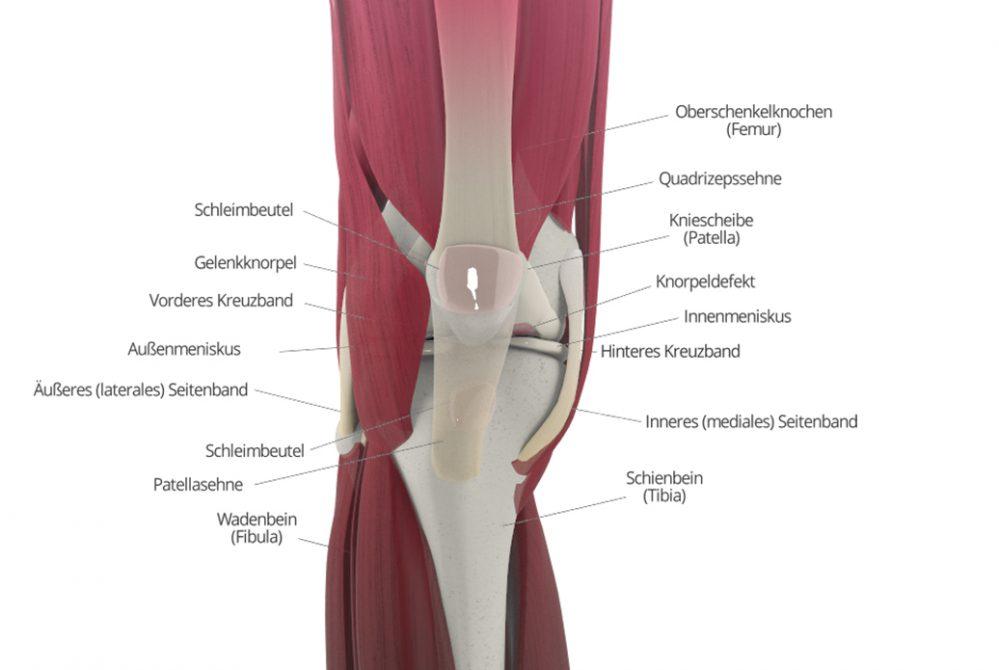 Schmerzen im Knie: Muskeln