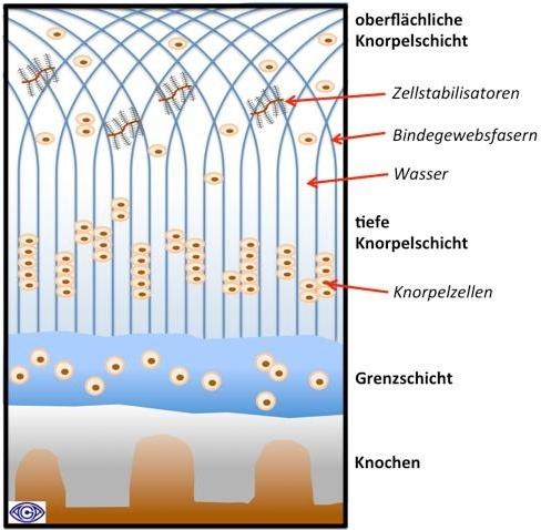 Aufbau des Gelenkknorpels